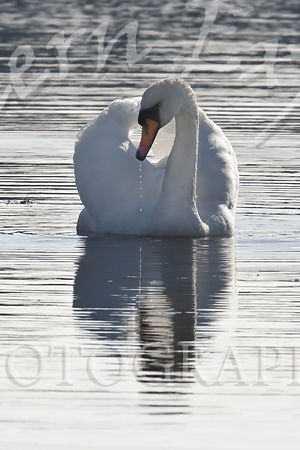 Swan_with_drips_try_2-Edit