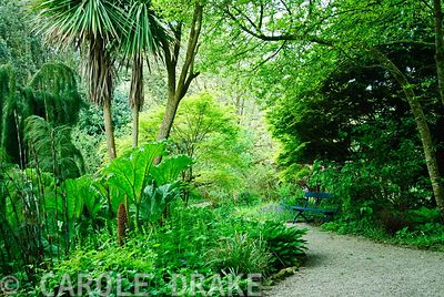 Path through pond garden passes by Gunnera manicata and below tall Cordyline australis. Trewidden, Buryas Bridge, Penzance, C...