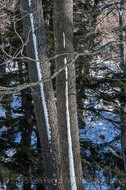 Snow-striped Tree Trunks in Rosy Mound Natural Area along Lake Michigan