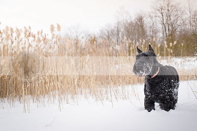 snowy giant black schnauzer standing in winter field witih reeds