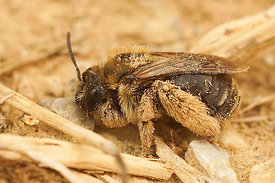 Eucera longicornis, female, Rousson