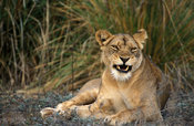 Lion (Panthera leo), Lower Zambezi National Park, Zambia
