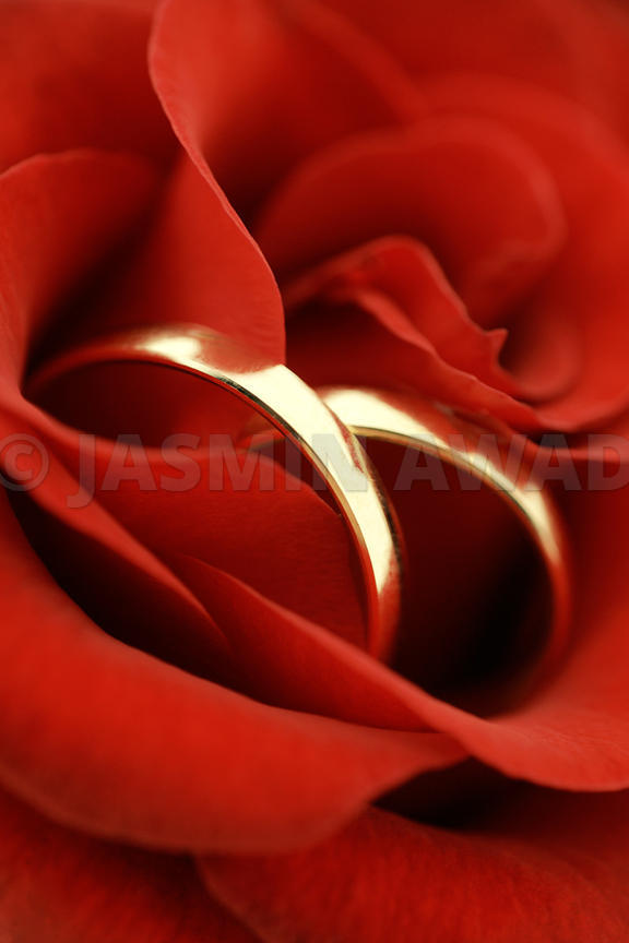 Gold Wedding Rings in red rose.Shallow DOF