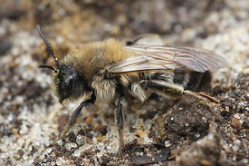 Andrena nycthemera , female at Durmplassen, Merendree (2013/04/09)