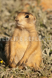 utah_prairie_dog_sitting_pose