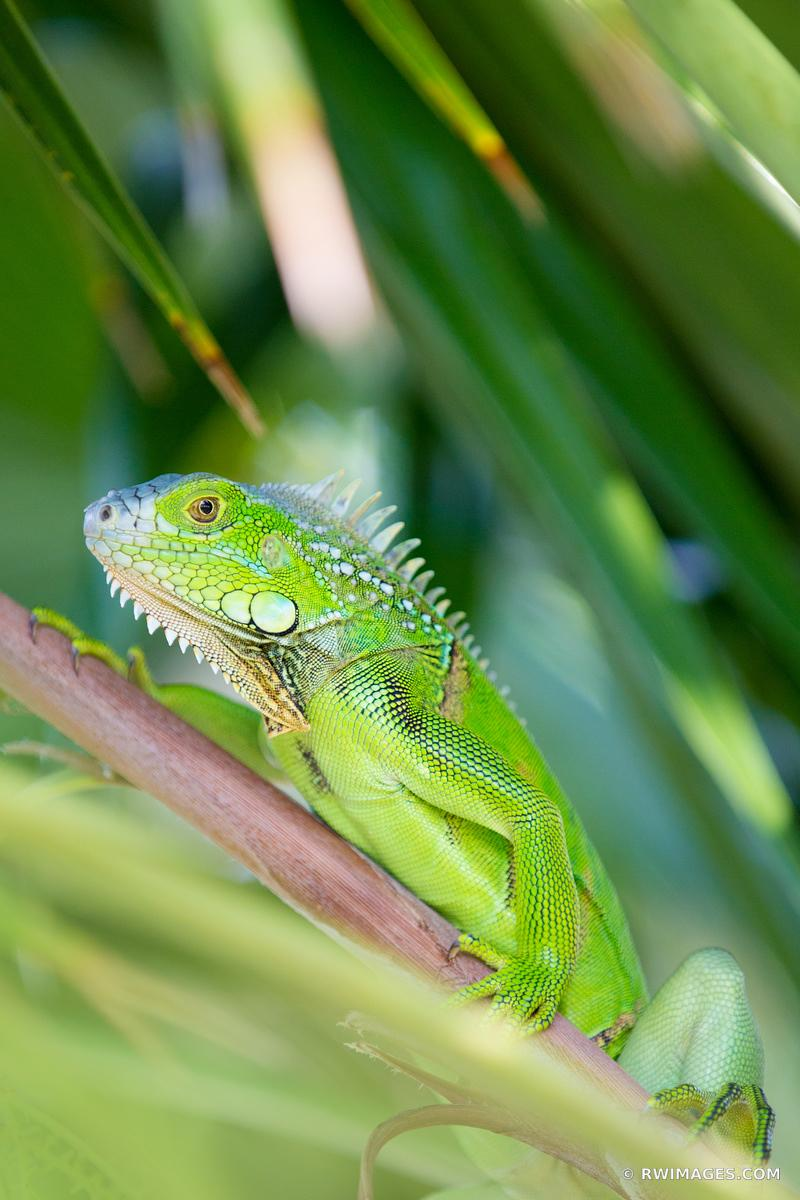 GREEN LIZARD FLORIDA KEYS