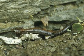 Plethodon serratus