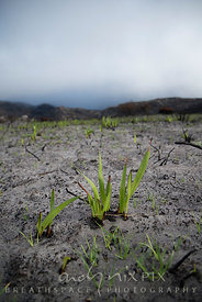 Fynbos plant regrowth after fire