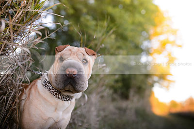 tan sharpei dog peeking out of dried grasses