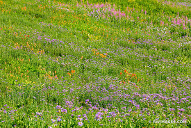 COLORFUL ALPINE SUMMER WILDFLOWRES MEADOW MOUNT RAINIER NATIONAL PARK WASHINGTON STATE