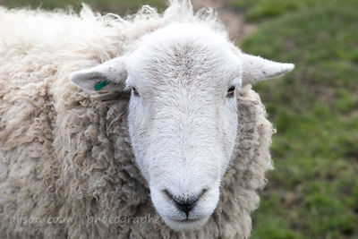 Sheep, Hillside Animal Sanctuary