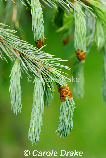 Picea engelmannii subsp mexicana. Sir Harold Hillier Gardens/Hampshire County Council, Romsey, Hants, UK