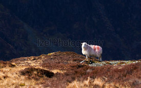 A lone Herdwick Sheep high up on the mountains in the Eglish Lake District