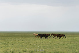 Horses in a field in Mongolia.