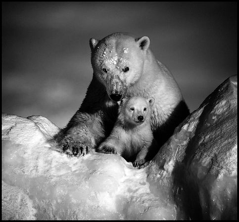 Stronger together. Polar bear with cub, Baffin Island Canada 2016 © Laurent Baheux