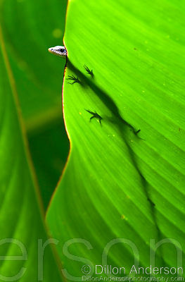 Skink on Banana Leaf