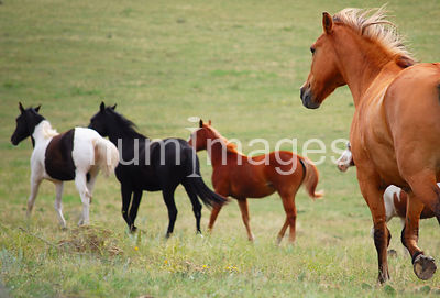Group of horses in a field running away