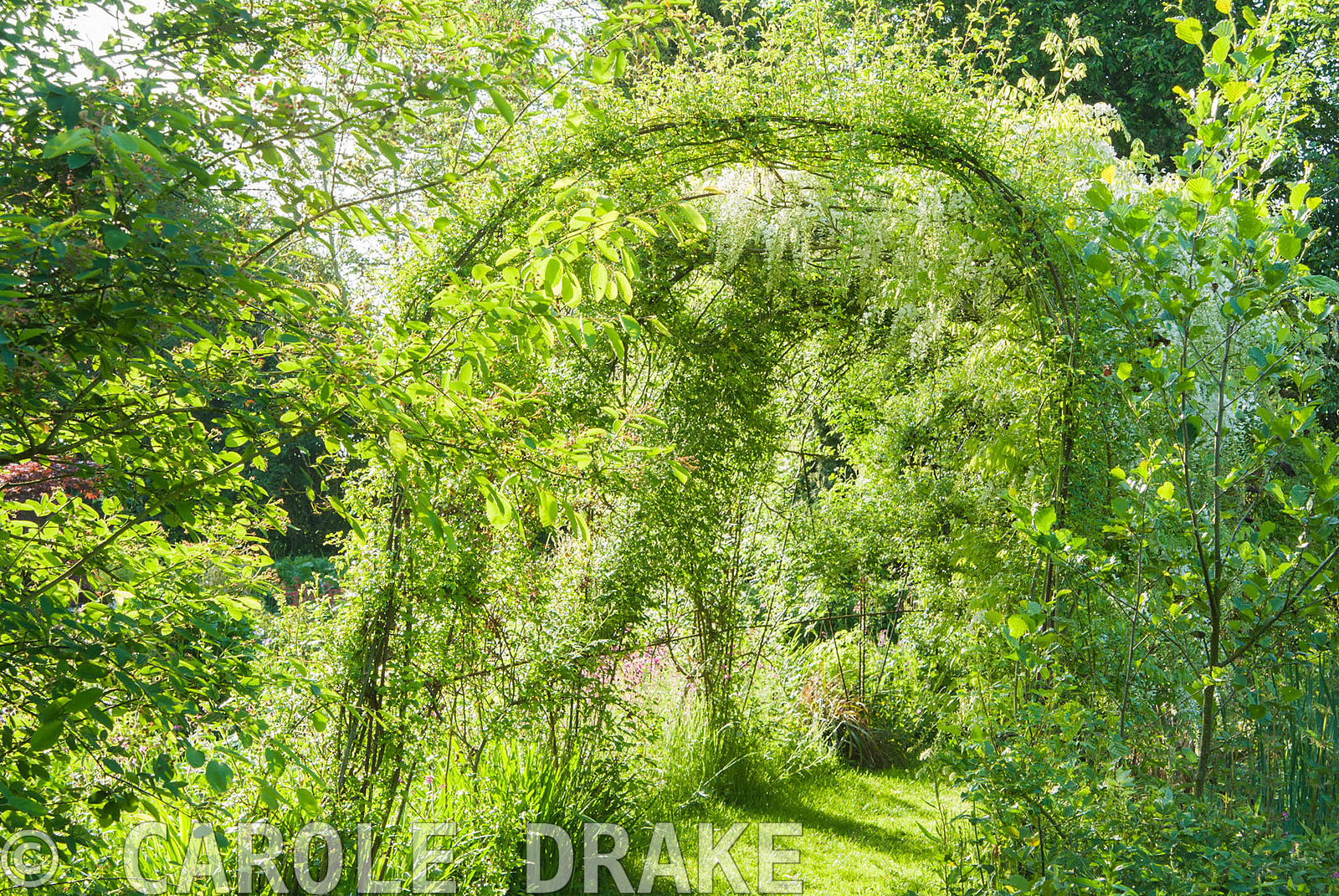 Pergola clothed with white wisteria. Westonbury Mill Water Garden, Pembridge, Herefordshire, UK