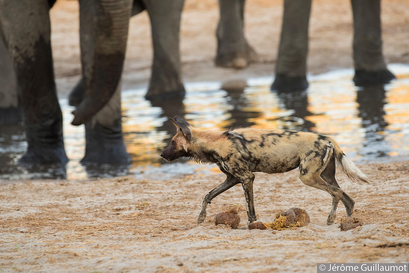 A group of Wild Dogs at waterhole in Botswana where they meet an Elephant herd