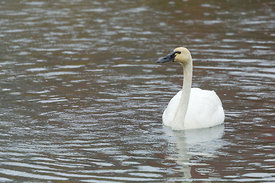 October - Tundra Swan