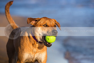 portrait of red cross breed dog fetching toy at lake with bokeh