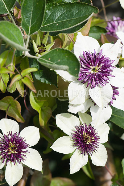 Clematis florida var sieboldiana. The Cider House, Buckland Abbey, Yelverton, Devon, UK