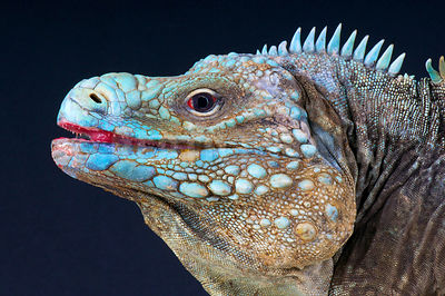 Blue rock iguana (Cyclura lewisi)