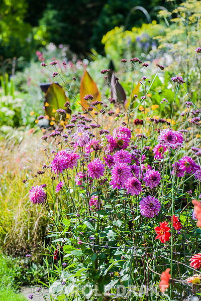 Colourful mix of dahlias and Verbena bonariensis with border behind including Pheasant grass, Anemanthele lessoniana and fram...