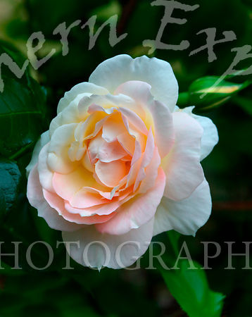 White and rose coloured rose