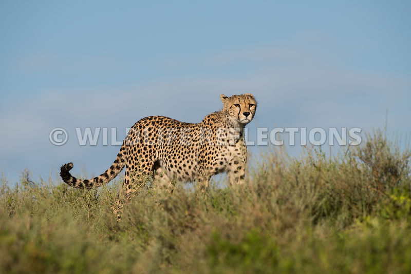 cheetah_hilltop_watch_02182015-18