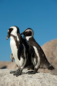 African penguins grooming, Spheniscus demersus, Boulders Beach, Cape Peninsula, South Africa