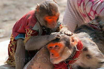 Captive, performing monkeys clean each other at a carnival in Pushkar, India.