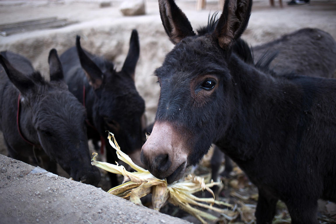 Donkeys eat discarded corn husks at a market in Leh, Ladakh, India