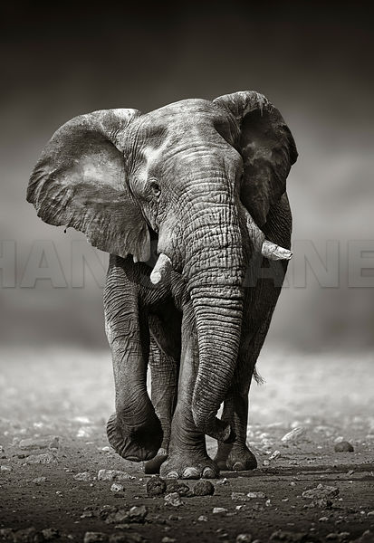 (RM) Elephant approach from the front (artistic processing)