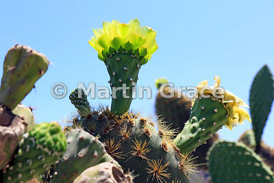 Flower of Giant Prickly Pear Cactus (Opuntia megasperma), San Cristobal, Galapagos