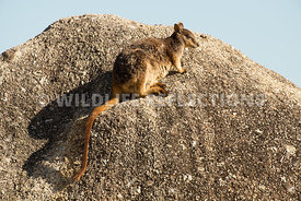 rock_wallaby_mareeba_rock_edge-2