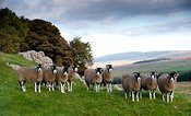 Swaledale sheep on limestone pasture. North Yorkshire