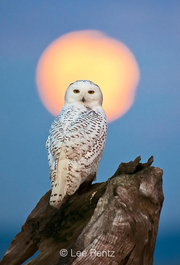 SNOWY OWL AND RISING MOON