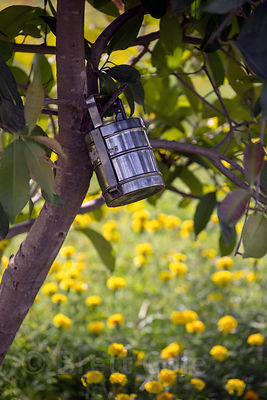 Worker's metal lunch pail hangs from a tree on a flower farm, Banseli village, Rajasthan, India