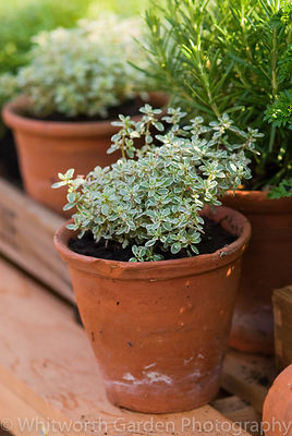 Herbs including Thymus (Thyme) in terracotta pots on a greenhouse shelf. © Jo Whitworth