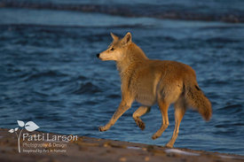 Coyote Enjoying the Beach