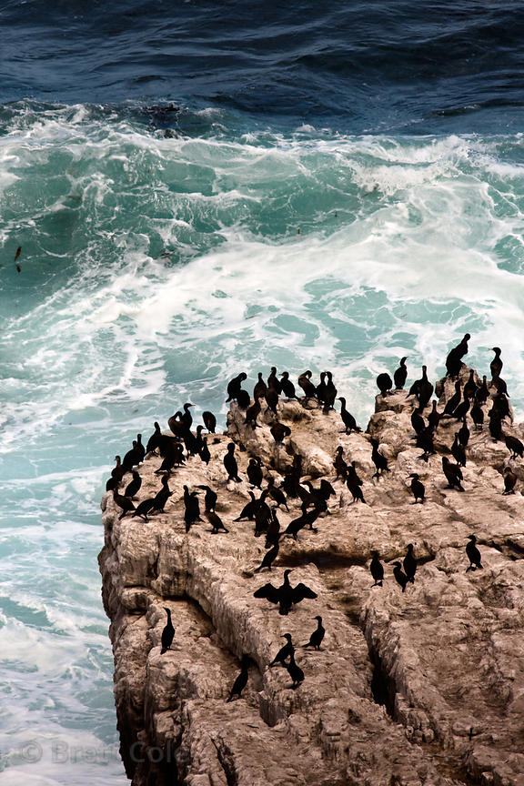 Cape cormorants (Phalacrocorax capensis) on a giant rock, Cape of Good Hope, South Africa