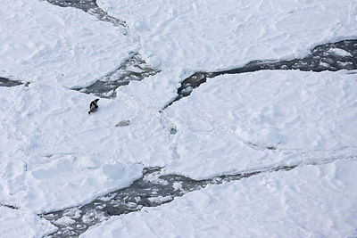 Aerial view of female Harp seal (Phoca groenlandicus) with pup on sea ice, Magdalen Islands, Gulf of St Lawrence, Quebec, Can...