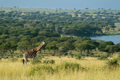 Rothschild's giraffe at the Nile River, Giraffa camelopardus rothschildi, Murchison Falls National Park, Uganda