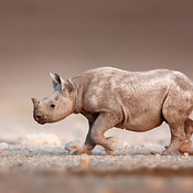Black Rhinoceros calf running  alone on open plains.
