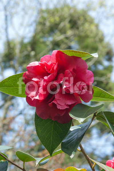 Camellia reticulata 'William Hertrich', camélia, rouge