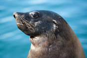 Cape Fur Seal, Arctocephalus pusillus, Kalk Bay, False Bay, South Africa