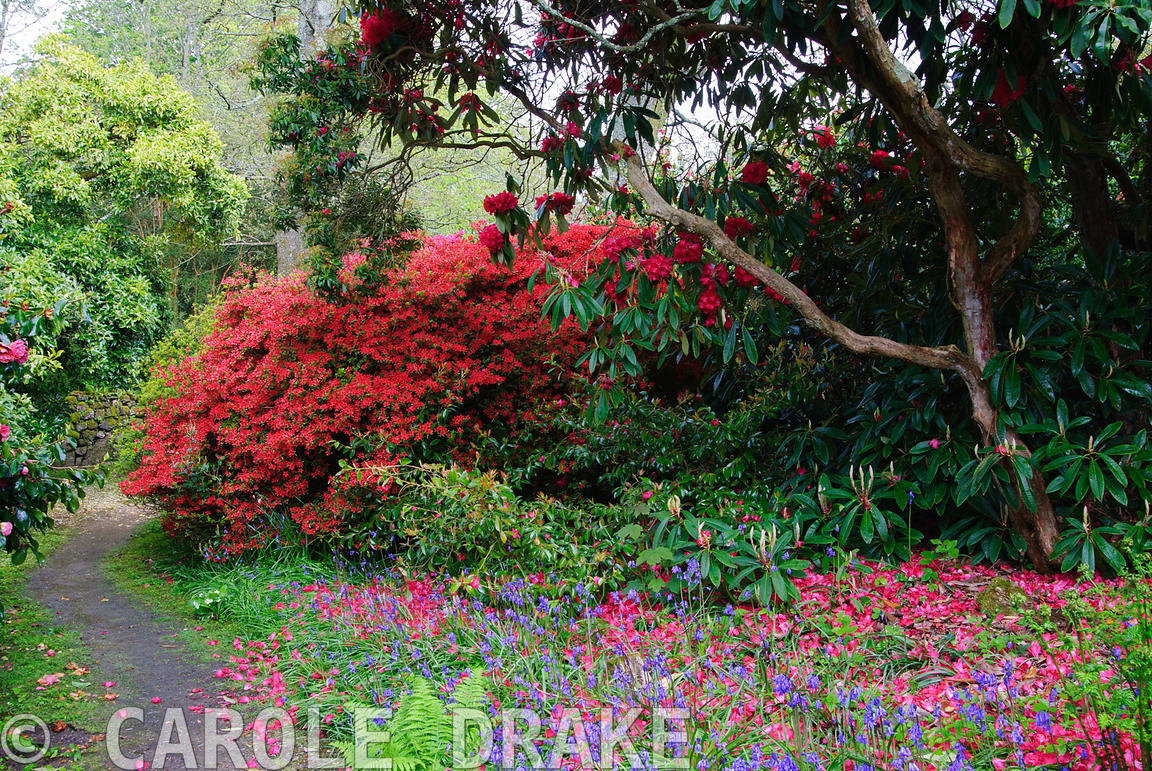 Red flowered rhododendrons and azaleas in the South Garden amongst a carpet of bluebells. Trewidden, Buryas Bridge, Penzance,...
