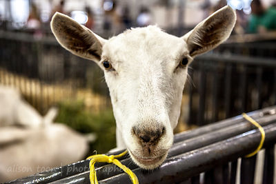 Goat, California Stte Fair