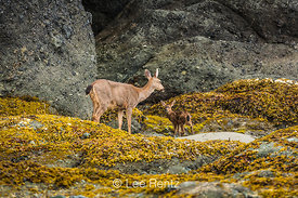 Columbian Black-tailed Deer Doe and Fawn at Point of Arches